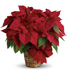 Red Poinsettia from Philips' Flower & Gift Shop