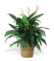 Spathiphyllum( Peace Lily) Plant from Philips' Flower & Gift Shop