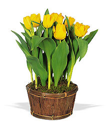 Potted Tulips from Philips' Flower & Gift Shop