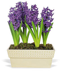 Hyacinth Planter from Philips' Flower & Gift Shop